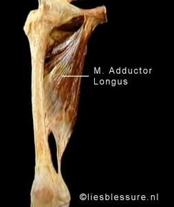 m. adductor longus